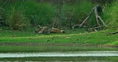 Mother tiger lying down at the lakeshore and feeding her cubs