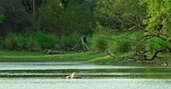 Mother tiger lying down at the lakeshore and feeding her cubs, Crocodile sitting at the rock inside the lake and watching around