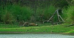 Mother tiger lying down at the lakeshore, feeding and grooming her cubs, cubs walking