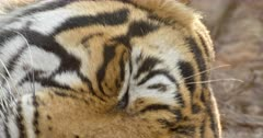 Tiger lying down and sleeping in the dry forest, Close up of tiger whisker