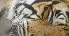 Tiger lying down and sleeping in the dry forest, Close up of tiger whisker and eyes