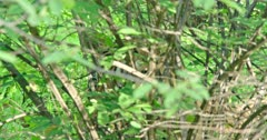 Close up of tiger sitting behind in the bush and watching around