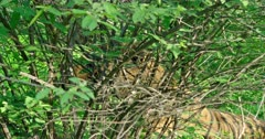Tiger sitting behind the bush, yawning and watching around in the green forest