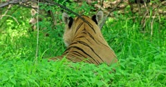 Tiger sitting in the grass bush, licking and biting the grasses