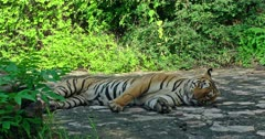 Tiger lying down on the rock path in the forest, licking and rubbing head on ground