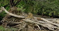 Tiger (Panthera tigris) - Sub-adult tiger cub sitting on a huge fallen tree trunk near lakeshore, head on paws and looking at camera. While another cub sitting behind that cub. Suddenly both cubs getting the alert then one of them getting up and looking back. Water in the foreground. Monsoonal forest in the background.