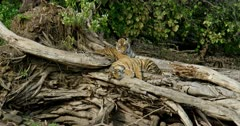 Tiger (Panthera tigris) - Sub-adult tiger cub sitting on a huge fallen tree trunk near lakeshore, head on paws and sleeping. While another cub sitting behind that cub. Suddenly one cub lifting its head and looking down. Water in the foreground. Monsoonal forest in the background.
