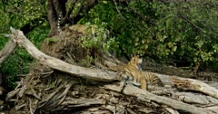Tiger (Panthera tigris) - Sub-adult tiger cubs sitting on a huge fallen tree trunk near lakeshore and head on paws. While third cub climbing up the tree trunk and walking on it. Tree trunk in the foreground. Monsoonal forest in the background.