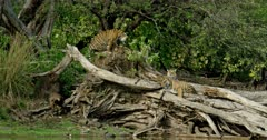 Tiger (Panthera tigris) - Sub-adult tiger cub sitting on a huge fallen tree trunk near lakeshore. While another cub scratching on the tree trunk. Third cub standing on root of the tree trunk. Tree trunk in the foreground. Monsoonal forest in the background.