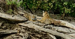 Tiger (Panthera tigris) - Sub-adult tiger cub sitting on a huge fallen tree trunk near lakeshore, head on paws and sleeping. While another cub sitting beside that cub. Suddenly one cub lifting its head and looking around. Tree trunk in the foreground. Monsoonal forest in the background.