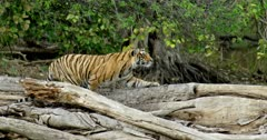Tiger (Panthera tigris) - Sub-adult tiger cub sitting and stalking on a tree trunk. Looking intently. Tree trunk in the foreground. Monsoonal forest in the background.