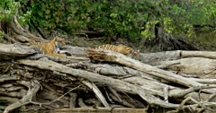 Tiger (Panthera tigris) - Two sub-adult tiger cubs sitting and stalking on a tree trunk. Looking intently. Tree trunk in the foreground. Monsoonal forest in the background.