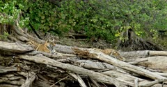 Tiger (Panthera tigris) - Two sub-adult tiger cubs sitting on a huge fallen tree trunk near lakeshore. One of them head on paws and looking at camera. Tree trunk in the foreground. Monsoonal forest in the background.