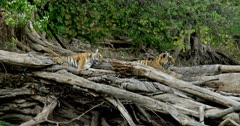 Tiger (Panthera tigris) - Two sub-adult tiger cubs sitting on a huge fallen tree trunk near lakeshore. One of them sleeping. Tree trunk in the foreground. Monsoonal forest in the background.