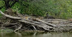Tiger (Panthera tigris) - Two sub-adult tiger cubs sitting on a huge fallen tree trunk near lakeshore. One of them sleeping and wakes up suddenly. Water in the foreground. Monsoonal forest in the background.