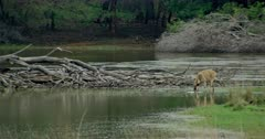 Tiger (Panthera tigris) - Sub-adult tiger cubs sitting and stalking on a huge fallen tree trunk near lakeshore. Sambar deer standing in the water edge and drinking.