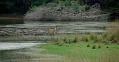 Sambar Deer (Rusa Unicolor) - Sambar deer standing water edge near lakeshore. Open area in the foreground. Water and tree area in the background.