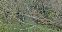 Tiger (Panthera tigris) - Sub-adult tiger cub turning and standing with kind paw on a tree. Tropical forest in the background.