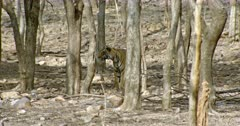 Tiger (Panthera tigris) standing behind the tree and looking intently. The shot was taken at Ranthambore national park, India