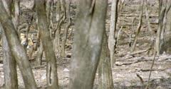 Tiger (Panthera tigris) walking alone through the trees. The shot was taken at Ranthambore national park, India