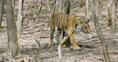 Sub-adult Tiger (Panthera tigris) walking alone through the tree area. Tiger watching around and continuously walks. The shot was taken at Ranthambore national park, India