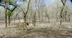 Sub-adult tiger (Panthera tigris) walking alone through the tree area. Tiger watching and smells then walks away. The shot was taken at Ranthambore national park, India