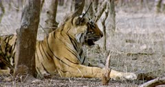 Sub-adult tiger (Panthera tigris) sitting alone at shadow of tree area. Tiger watching around and breathing heavily. The shot was taken at Ranthambore national park, India