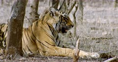 Sub-adult tiger (Panthera tigris) sitting alone at shadow of tree area. Tiger listening and breathing heavily. The shot was taken at Ranthambore national park, India