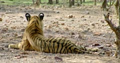 Tiger (Panthera tigris) sitting alone at shadow of the tree area. Background bird standing freeze near the tiger. The shot was taken at Ranthambore national park, India