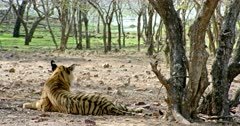 Tiger (Panthera tigris) sitting alone at shadow of the tree area. Tiger and Senegal thick-knee bird looking each other then watching around. The shot was taken at Ranthambore national park, India