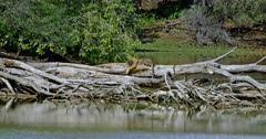 Sub-adult tiger sitting on fallen tree trunk near the lakeshore. The tree trunk fallen on the water. Tiger licking paws and smells on tree trunk.