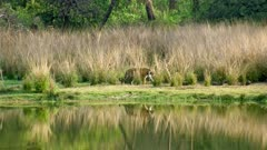 Sub-adult tiger cub walking at lakeshore and crossing another cub which sitting behind a grass bush near lakeshore. Reflection of tiger on water in the foreground.