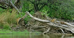 Sub-adult tiger cub sits on tree trunk near lakeshore. While another sub adult cub Smelling on tree trunk and climbing up. Sub adult tigers grooming each other.