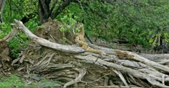 Sub adult tigers playing on the fallen tree trunk near the lakeshore. Cub growling and walk on tree trunk. Another cub lying.