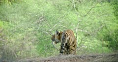 Sub adult male tiger roaming alone in the forest. Tiger watching around and inhaling.
