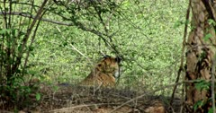 Tiger sitting behind the slope in shadow of wood and looking around, breathing heavily. Sunlight partially falls on tiger face.