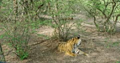 Sub-adult tiger sitting at shadow of bushes and turn around watching its siblings. Background second one sub adult lying on the ground and the third one walks out from the site.