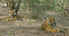 Two Sub-adult tigers resting in the shadow of tree area and breathing heavily. Sunlight falling partially on the tigers face. Tiger yawning and looking around.