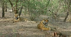Two Sub-adult tigers resting in the shadow of tree area and breathing heavily. Sunlight falling partially on the tigers face.