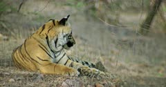 Sub-adult tiger sitting near the edge of rock stones and rotating its tails. Its smelling up and watching around.