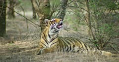 Sub-adult tiger sitting in front of the tree and smelling up, looking around. Sunlight partially falling on tiger body.