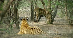 Two Sub-adult tigers in the shadow of tree area. One of them sitting in foreground and another one walking in background. sunlight falling partially on tigers body. Both are not showing face towards the camera.