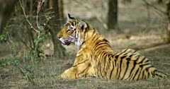 Sub-adult tiger sitting alone at tree area. Sunlight falling on tiger body through the tree branch. Tiger breathing heavily and looks around.