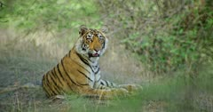 Sub-adult tiger Arrow head sitting alone in near the bushes and smelling around. Sunlight falling on tiger body through the tree branch. Tiger breathing heavily and looks around.
