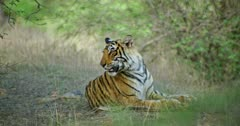 Sub-adult tiger Arrow head sitting alone in near the bushes and watching around. Tiger looking alert then stands up.