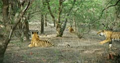 Two Sub-adult tigers sitting at shadow of tree area. it's sibling enters that site and walking out.