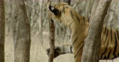 Sub-adult tiger scratching and smelling on the tree then walking through the tree area
