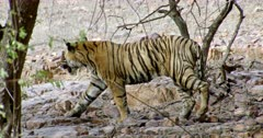 Sub-adult tiger walking alone on the rock area behind trees.