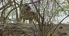 Sub-adult tiger walking on the slope and turn around watch then walks out