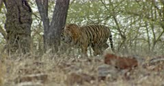 Sub-adult tiger walking alone through the tree area and turn around watch.